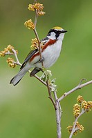 A Chestnut_sided Warbler Dendroica pensylvanica perched on a branch at the Carden Alvar in Ontario, Canada.