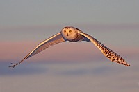 A young female snowy owl Bubo scandiacus hunting for rodents near Ottawa, Ontario, Canada.