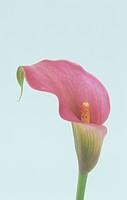 Calla Lily flower Zantedeschia, Araceae.