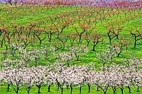 Apple orchard in bloom, Okanagan Valley, Osoyoos, British Columbia, Canada