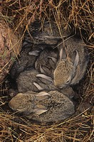 Desert Cottontail Rabbit young in their nest Sylvilagus audubonii, California, USA.