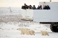 Polar bears and Tundra Buggy near the coast of Hudson Bay