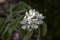 Pyrus elaeagrifolia blossom