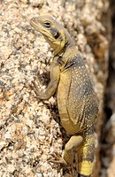 Common Chuckwalla at Joshua Tree Park, California, USA