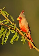 Perched Pyrrhuloxia Cardinalis sinuatus at Elephant Head Pond, Arizona, USA