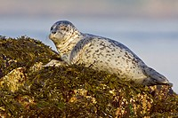 Harbour seal perched on a rock in Victoria, BC, Canada.