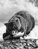Brown bear with a fish in its mouth, Alaska, USA