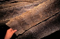Animal Products _ Burmese and Reticulated Python skins for sale, O Russei Market, Cambodia