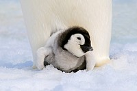 Emperor penguin Aptenodytes forsteri chick resting on its parent´s feet, Snow Hill Island, Antarctic Peninsula