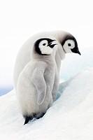 Emperor penguin chicks Aptenodytes forsteri, Snow Hill Island, Weddell Sea, Antarctica