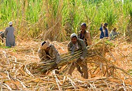 Sugarcane Saccharum officinarum harvesting by hand, stems are transported to factory, leaves used for animal feed, West Bank, Luxor, Egypt