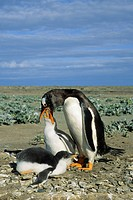 Adult gentoo penguin Pygoscelis papua feeding a chick, Falkland Islands