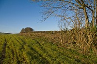 Recently laid hedge alongside rural road, Warmwell, Dorset, England, march