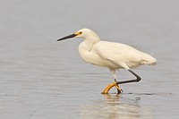 Snowy Egret Egretta thula feeding in a mudflat on the coast of Ecuador.