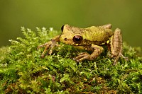A treefrog perched on a mossy rock in the Tandayapa Valley of Ecuador.