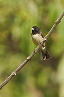 Yellow_bellied Seedeater Sporophila nigricollis perched on a branch near the coast of Ecuador.