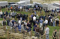 Showing Swaledale sheep, with farmers, off_road vehicles and trailers, Tan Hill Show, North Yorkshire, England, spring