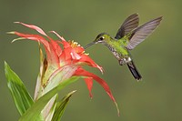Green_crowned Brilliant Heliodoxa jacula feeding at a flower while flying at Bueneventura Lodge in southwest Ecuador.