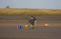 Sea angler bait digging for worms, throwing worm into bucket, on mudflats at low tide, Norfolk, England, winter