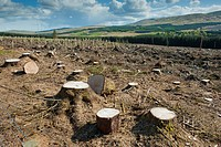 Cleared forestry plantation, with tree stumps and re_planted trees behind, Dundeugh Forest, The Glenkens, Dumfriesshire, Scotland