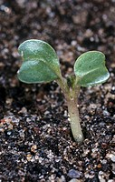 Cabbage seedling Brassica oleracea