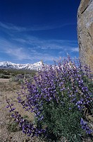 Inyo or Interior Bush Lupine ,Lupinus excubitus, Inyo National Forest, California, USA.