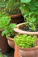 Mixed herbs in terracotta pots on garden patio, coriander, thyme and nasturtium, Norfolk, England, may