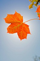 Orange maple leaf in fall