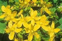 Spotted St. John´s Wort flowers ,Hypericum punctatum, North America.