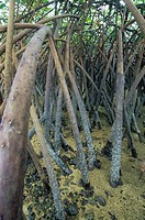 Mangrove prop roots exposed at low tide, Fiji, Pacific Ocean.