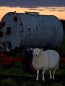 Sheep an water tank,OLAND,SWEDEN