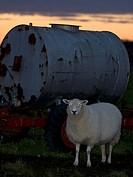 Sheep an water tank,OLAND,SWEDEN