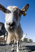 Goat in Lofoten