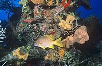 Schoolmaster Snapper Lutjanus apodus among corals, Caribbean.