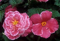 Male and female flowers of the Picotee Lace Pink variety of Tuberous Begonias.