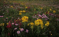 Alpine meadow of wildflowers, including Sneezeweed, Paintbrush, and Daisies, Rocky Mountains, USA.