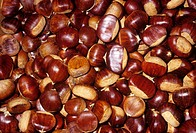 American Chestnuts Castanea dentata, Eastern USA.