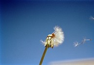 A dandelion in the wind.