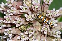 Ailanthus Webworm Moth Atteva punctella nectaring on Common Milkweed Asclepias syriaca.
