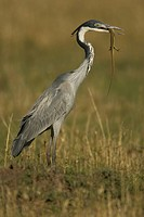 Black_headed Heron with lizard prey in its bill ,Ardea melanocephala, Masai Mara, Kenya, Africa.