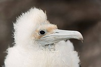 Great Frigatebird chick Fregata minor, Darwin Bay, Tower Island, Galapagos, Ecuador.