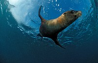 South African Fur Seal swimming Arctocephalus pusillus pusillus, South Africa.