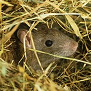 Brown Rat Rattus norvegicus head poking out from hay.