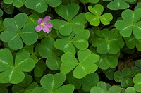Redwood Sorrel ,Oxalis oregana, Salt Point State Park, California, USA.
