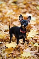 A Chihuahua standing in autumn leaves.
