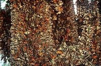 Monarch butterfly colony in Michocan Mexico