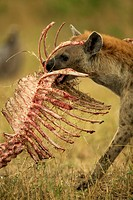 Spotted Hyena ,Crocuta crocuta, carrying a skeleton from a kill, East Africa.