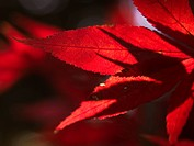 Red leaves close_up.