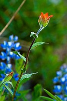 Lupine and Scarlet Paintbrush