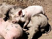 Pigs Sweden